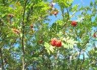 Rönnbär gillar jag