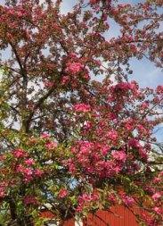 Det blommar i mitten av maj